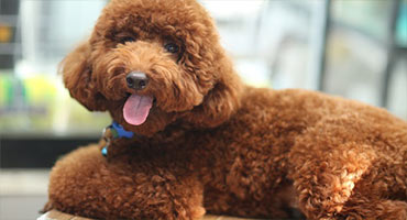 toy-brown-poodle